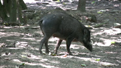 Black pig walking and sniffing the ground. Species - Visayan warty pig. Stock Footage