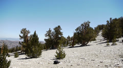 Ancient Bristlecone Pine Tree Stock Footage