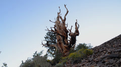 Ancient Bristlecone Pine Tree Time Lapse Stock Footage