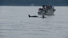 Whale Watching, Orca, Killer Whale, Whales Stock Footage