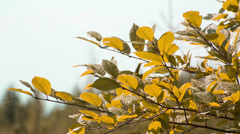 Closeup cherry leaves in autumn. Shot to RAW, wide dynamic range Stock Footage