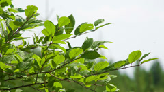 Closeup cherry leaves in summer. Shot to RAW, wide dynamic range Stock Footage