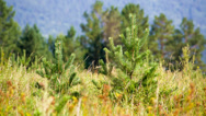 Stock Video Footage of Young pines in field grass hot summer day. Shot to RAW, wide dynamic range