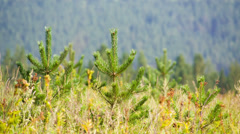 Young pines in field grass hot summer day. Shot to RAW, wide dynamic range Stock Footage