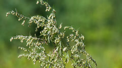 Sagebrush (Artemisia) macro with shallow depth of field. Shot to RAW, wide Stock Footage