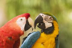 Two macaws together Stock Photos