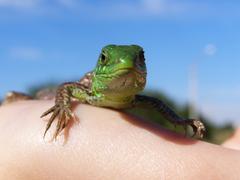 Small green lizard on the hand Stock Photos