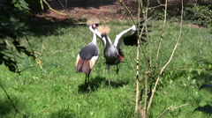 Stock Video Footage of East African cranes long shot