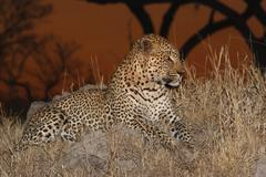 Leopard in grass, Greater Kruger National Park, South Africa Stock Photos