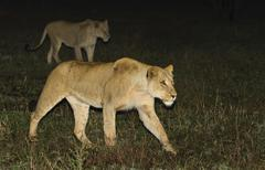 Lions walking at night, Greater Kruger National Park, South Africa Stock Photos