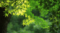 Beautiful bright maple leaves in forest Stock Footage