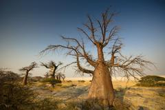Stock Photo of Barren trees on Kubu Island, Botswana