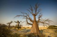 Stock Photo of Barren trees on Kubu Island, Botswana