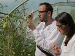 Scientists in greenhouse inject substance into tomato NTSC Stock Footage