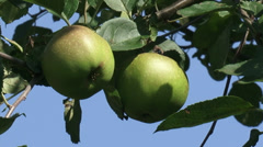 Old-growth european apple tree with fruit Stock Footage