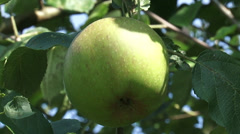 Old-growth european apple tree with fruit, green apple Stock Footage