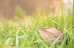 Fallen leaf in natural grass right Stock Photos