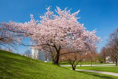 blossoming apple tree in a park - stock photo