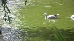 Geese or ducks with black and white markings - stock footage