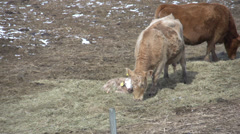 Agriculture, cattle grazing early spring, little snow, calf Stock Footage