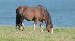 Clydesdale Horse grazing on clifftop in Scotland. Stock Footage