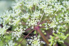Stock Photo of angelica sylvestris, medicinal plant