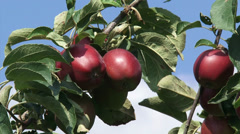European apple tree with fruit - red apples + zoom out Stock Footage