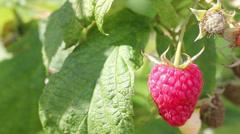 Ripe  raspberry  in  the  summer  garden - stock footage