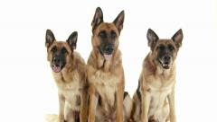 1of14 Group of purebred alsatian dogs on white background, pets Stock Footage