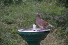 bird drinking water - stock photo