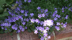 Campanula blue Stock Footage