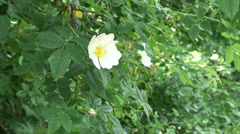 Wild Rose 03 Stock Footage
