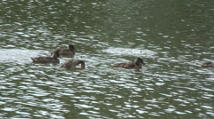 Swan and Ducks Fobney 01 Stock Footage