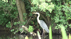 Heron 06 Stock Footage