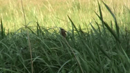 Stock Video Footage of CU bird in reeds by KA
