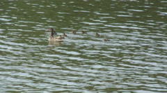 Ducks Fobney nature reserve 07 Stock Footage