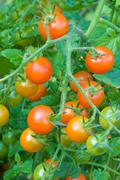 tomatoes cluster in the garden - stock photo