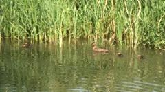 Mallard female & Chicks on KA 02 Stock Footage