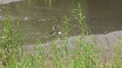 Lapwing Fobney nature reserve Stock Footage