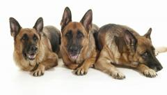 2of14 Group of purebred alsatian dogs on white background, pets Stock Footage