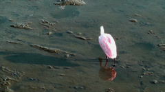 Roseate Spoonbill cleaning up Stock Footage