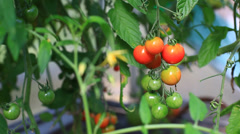 Cherry tomato in hothouse Stock Footage