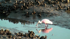Roseate Spoonbill feeding at low tide - stock footage