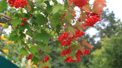 Viburnum  in the garden Stock Footage