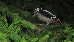 Woodpecker in a fir Stock Footage
