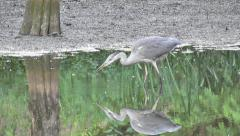 Grey Heron Fishing In Pond - stock footage