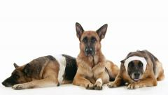 11of14 Group of purebred alsatian dogs on white background, pets Stock Footage