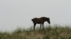 Wild horse foal grazing dune outer banks nc Stock Footage