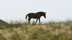 Wild foal walks a top dunes outer banks nc Stock Footage