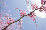 Stock Photo of Eastern Redbud Tree